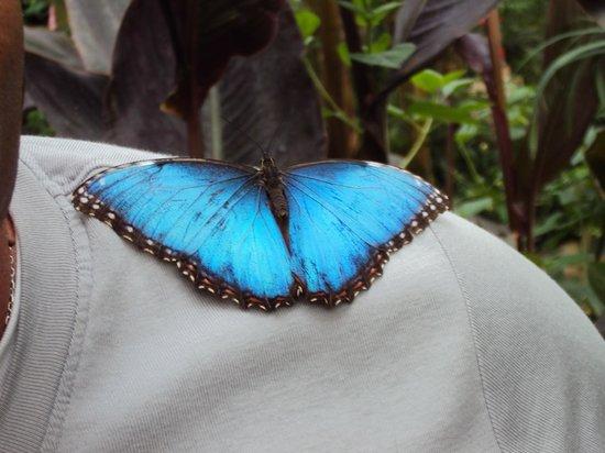 L'Ile aux Papillons : papillon géant