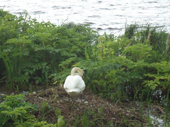Alsterseen: Duck