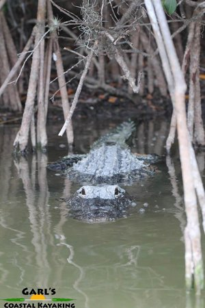 Garl's Coastal Kayaking Everglades : Padling right pass this guy!