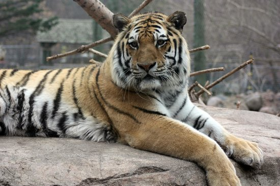 Lake Superior Zoo & Zoological Society: Amur Tiger