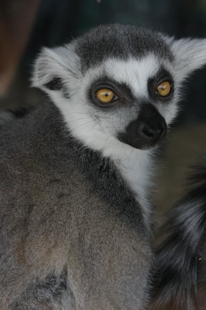 Lake Superior Zoo & Zoological Society: Ring-tailed Lemur