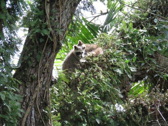 Flamingo Gardens: raccoons