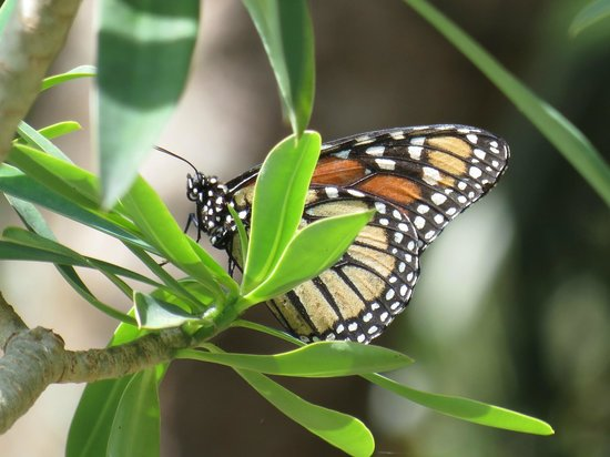 Flamingo Gardens: butterfly