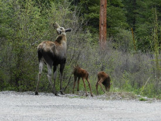 229 Parks Restaurant and Tavern: Mama Moose and her Twin Babies in the parking lot as we left