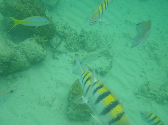 Viva Wyndham Fortuna Beach : Reef off the beach