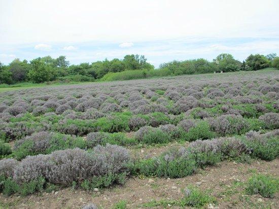 Prince Edward County Lavender: Lavender