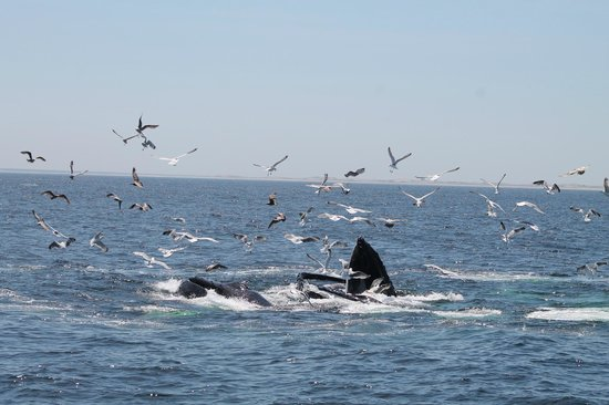 Dolphin Fleet Whale Watch: Humpbacks eating