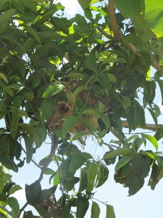 Chiang Rai Bicycle Tour: A birds nest in the tree as pointed out by our guide