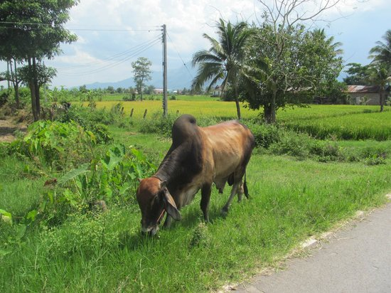 Chiang Rai Bicycle Tour: More animal in the countryside