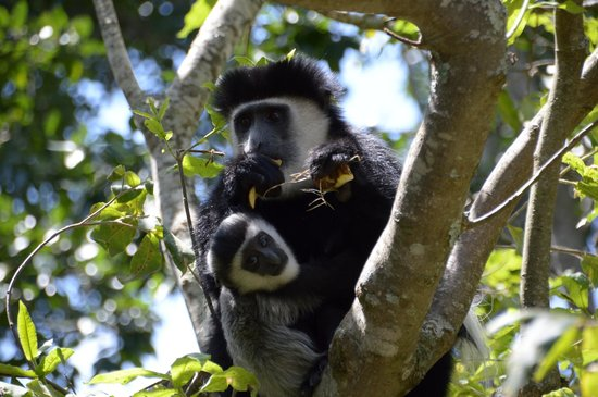 Africa Veterans Safaris - Day Tours: Colobus Monkey