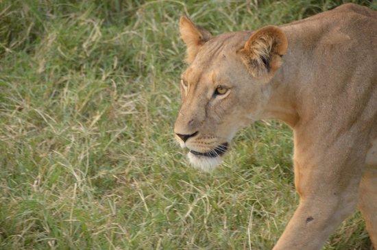 Africa Veterans Safaris - Day Tours: Lion