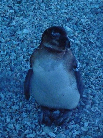 Cape St Francis Resort: Visit the penguin rescue centre at lighthouse