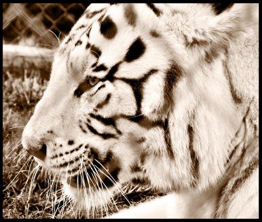 Kamo Wildlife Sanctuary: white tiger