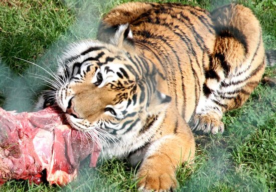 Kamo Wildlife Sanctuary: tiger munching lunch