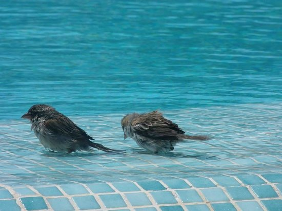 Hotel Riu Palace Cabo Verde : Birds cooling down in the pool