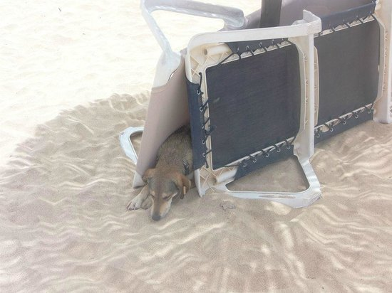 Hotel Riu Palace Cabo Verde : Dogs on the beach