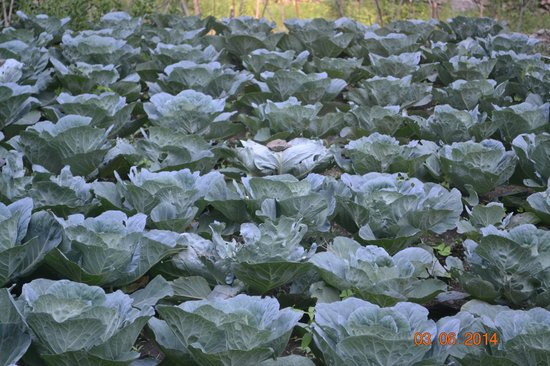 Soulitude by the Riverside: Cabbage fields :)