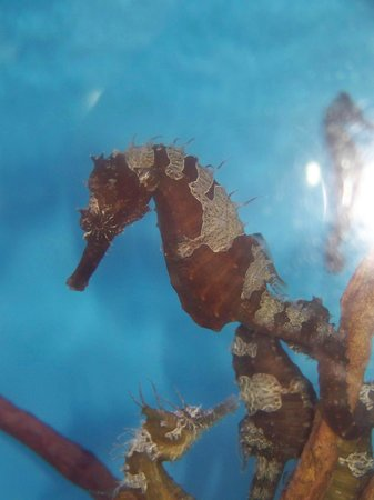 Mote Marine Laboratory and Aquarium: seahorse tank