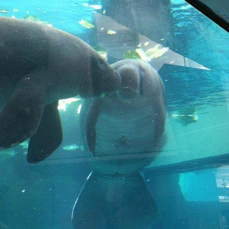 Mote Marine Laboratory and Aquarium: manatee love