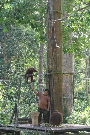 Sepilok Orangutan Sanctuary : Feeding area