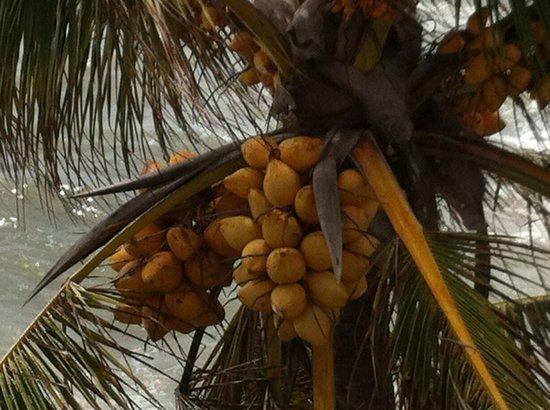 Mount Lavinia Hotel: Coconuts