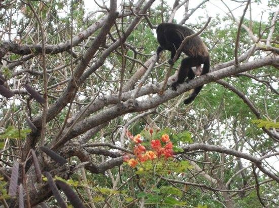 Finca Mystica: Howler monkey