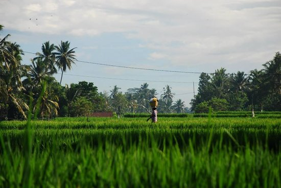 Graha Moding Villas : paddy track