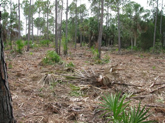 Withlacoochee Gulf Preserve : recent clearing of forest area