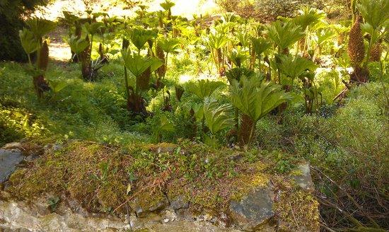 Picton Castle & Gardens : Tree Ferns