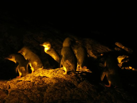 Low Head Penguin Tours: Up close with the fairy penguins