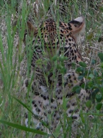 Naledi Bushcamp and Enkoveni Camp : It took while, but we found a leopard hiding in the brush