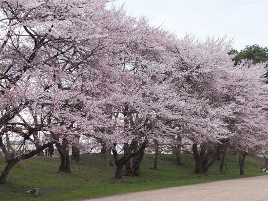 Yamagata castle: 公園内の桜