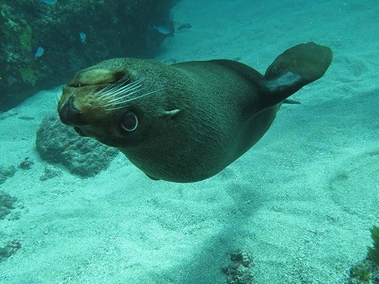 Dive Tutukaka: Fur Seal