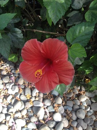 JW Marriott Desert Springs Resort & Spa: Hibiscus all around (usually with hummingbirds hovering over)