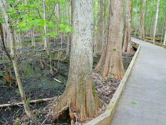 Great Dismal Swamp National Wildlife Refuge: trail through swamp
