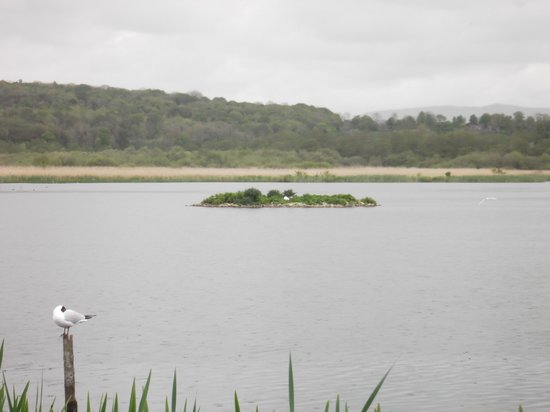 RSPB Leighton Moss Nature Reserve: Black headed gull colony just out of view in the foreground