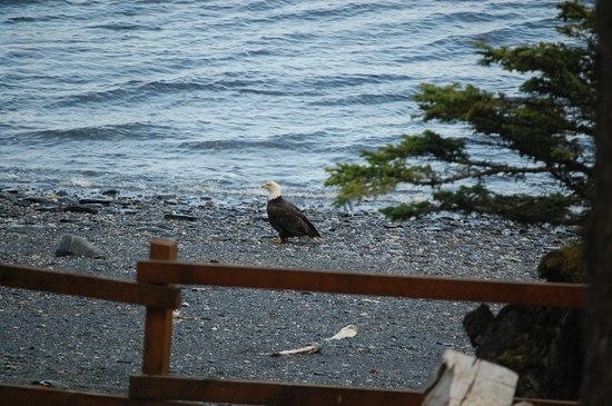 Big Timber Lodge : Eagle on beach in front of Lodge