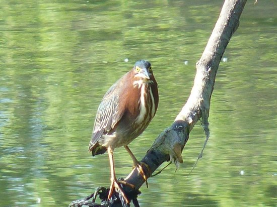 Lincoln Park: Green heron in South Pond