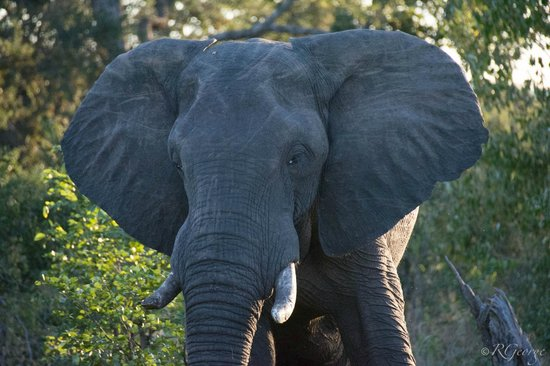 Wilderness Safaris Toka Leya Camp: Elephant near camp
