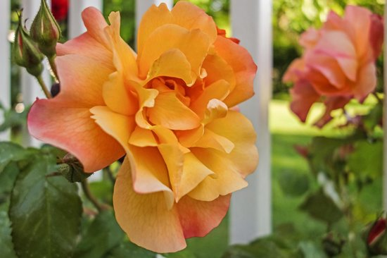 Garden Isle Guest Cottages: Roses along the back deck