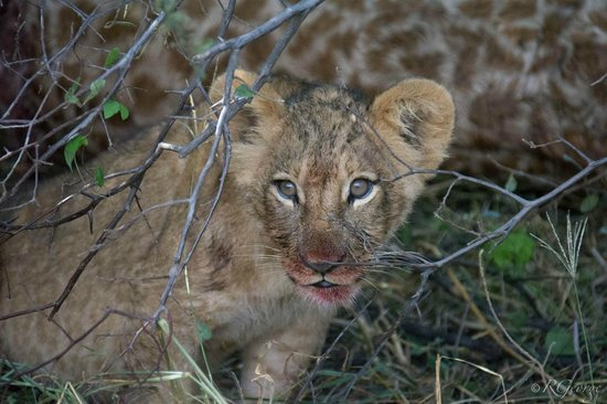 Little Kwara: Cub with giraffe blood