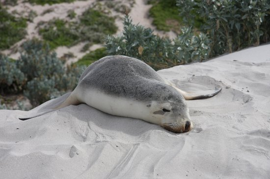 Seal Bay Conservation Park: Hair Seal