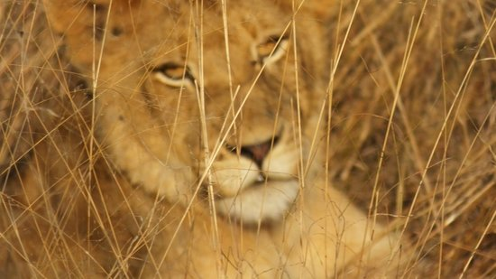 Shindzela Tented Safari Camp: Beautiful young lion