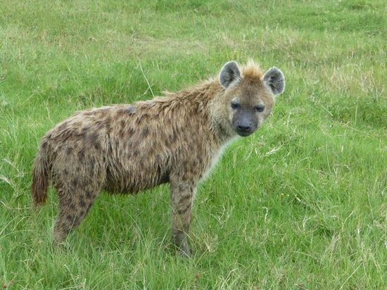 Ngorongoro Sopa Lodge: Hyena