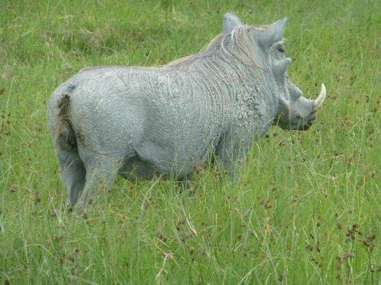 Ngorongoro Sopa Lodge: Warthog