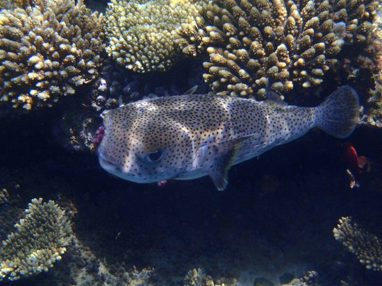 Baron Palms Resort Sharm El Sheikh: Porcupine fish