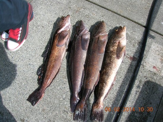 R&R Charters: caught our limit of lingcod!!!!!!