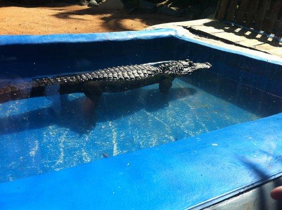 Oasis Park Fuerteventura: Crocodile