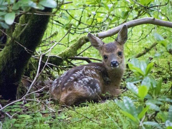 Benmore Botanic Garden : Fawn sitting in bushes waiting for mother deer