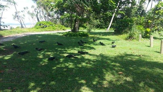 Mission Beach: black cockatoos on the beach